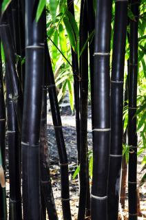"Timor Black Bamboo ""Bambusa Lako"""