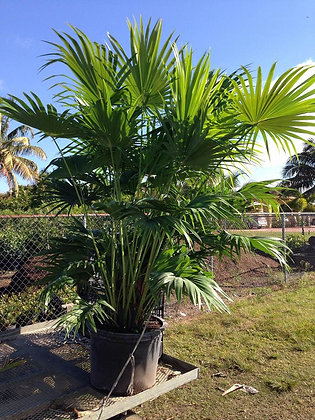 Chinese Fan Palm 25 Gallon 6-7 Feet