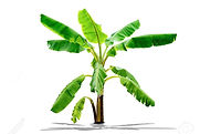 107253733-banana-tree-green-leaves-patte