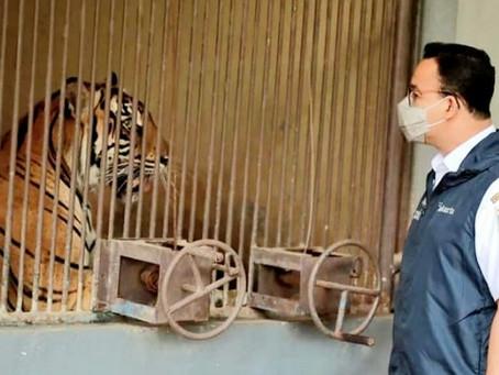 Pantau Harimau Terinfeksi Covid-19 di, Anies Baswedan Panggil Petugas Swab Paling Berani Sedunia