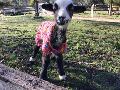 Lambs..lambs and more lambs