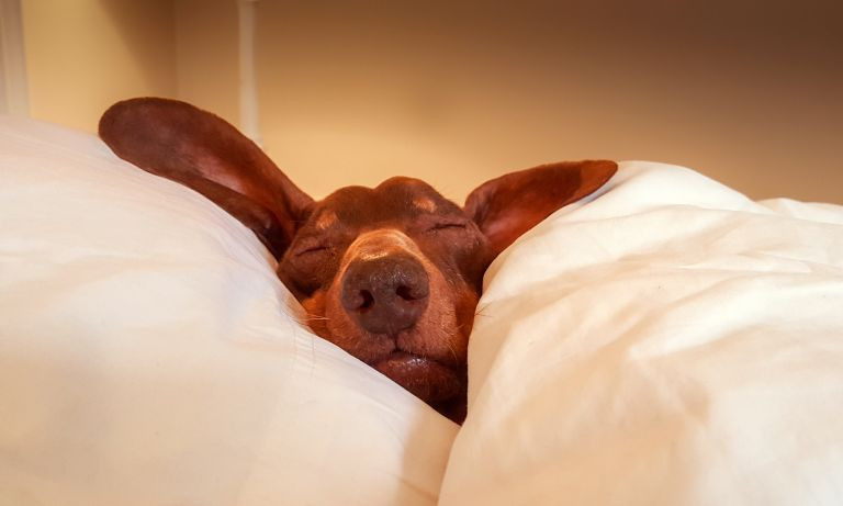 A cute brown dog sleeping on a pillow covered with the duvet