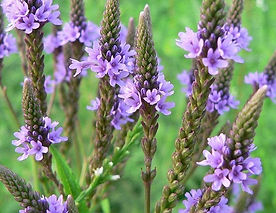 Verbena officinalis2.jpg