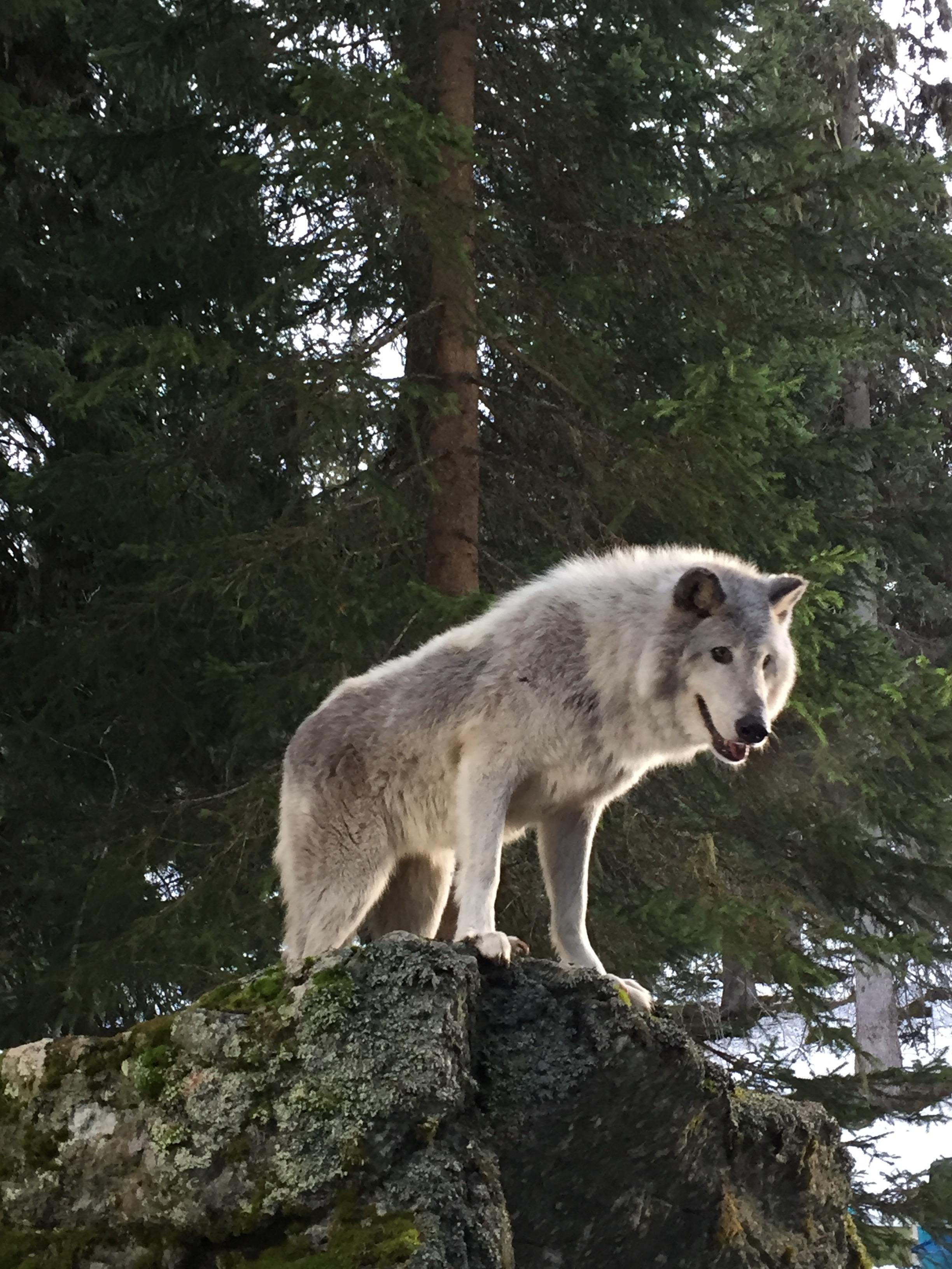 Loup-cadeac copie
