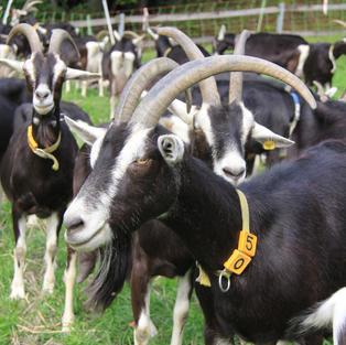 Goats Waldhaus Chur