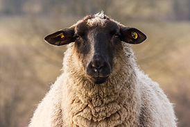 sheep-4210412.jpg