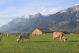 Milchkühe_Plantahof_Weide.JPG