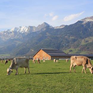 Dairy cows Plantahof