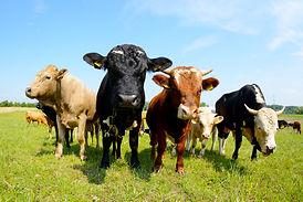 cows-3828085.jpg