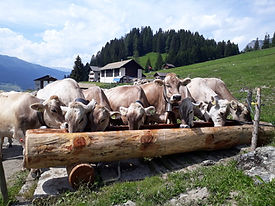 Kühe am Brunnen Parpan 2018.JPG