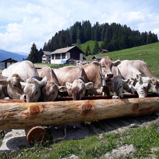Alpine farming Parpan