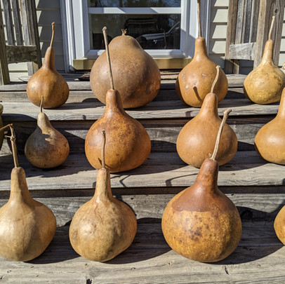 2020 gourds, cleaned and ready