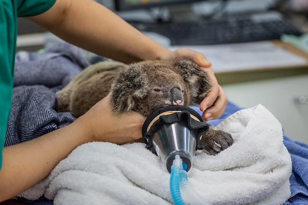 Koala Wildlife Hospital
