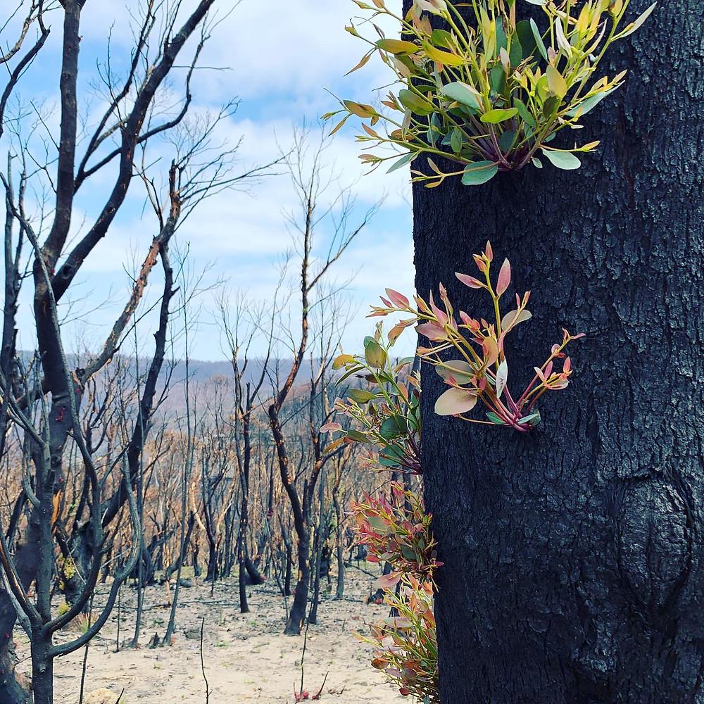 Bush fire regrowth on trees