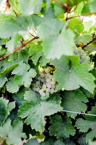 White-Grapes-2.jpg