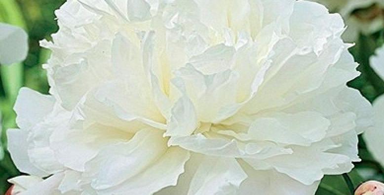 Пион травянистый Дабл Вайт (Double White)