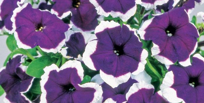 Петуния крупноцветковая Hulahoop Blue (цена за ОПТ)