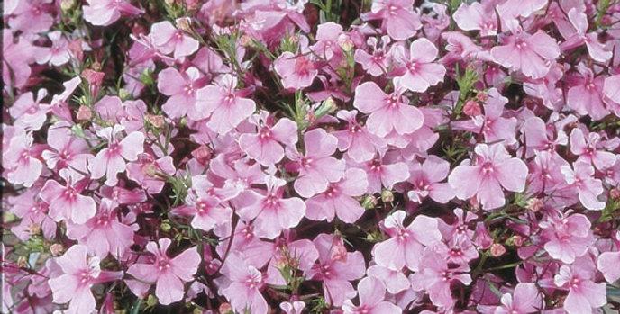 Лобелия еринус Riviera Lilac (минимальный заказ 1 ящик (70шт), ОКС)