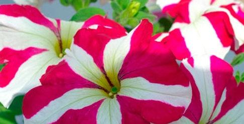 Петуния крупноцветковая Tango Rose star (мин.заказ 10шт)