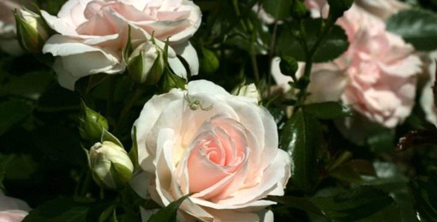 Роза флорибунда Аспирин (Rose Aspirin)