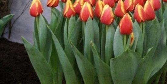 Тюльпаны Ad Rem (Ад Рем)