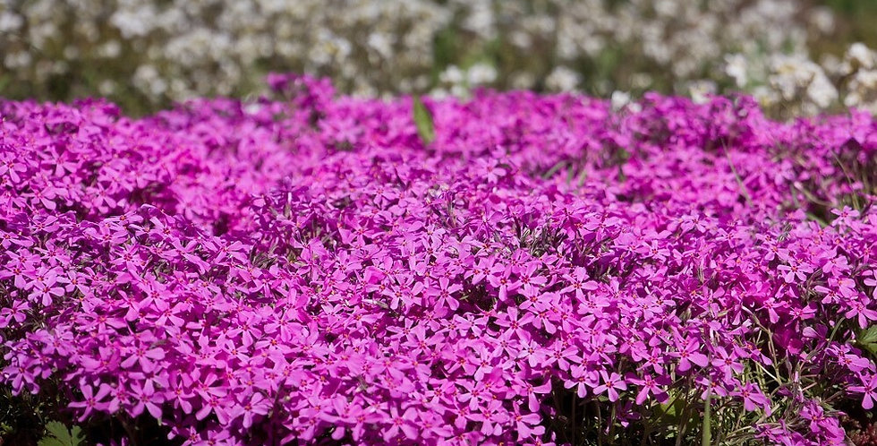 Флокс шиловидный Emerald Cushion Pink