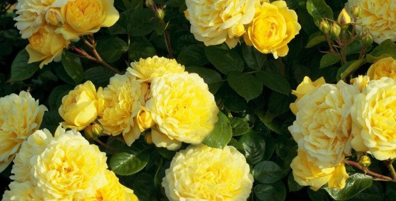 Роза флорибунда Анни Дюпре