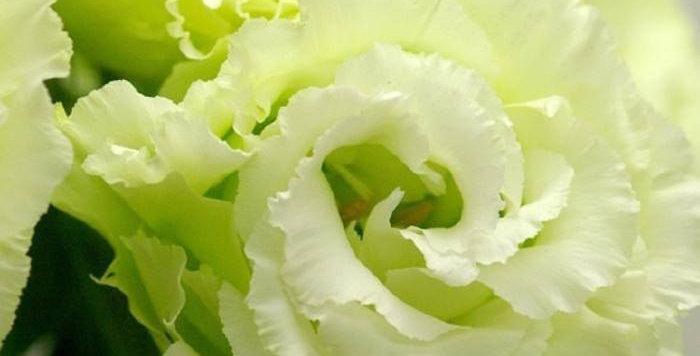 Эустома(Лизиантус) махровая Green (цена за ОПТ)