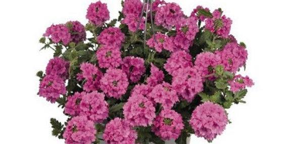 Вербена гибридная вегетативная Sun Pink