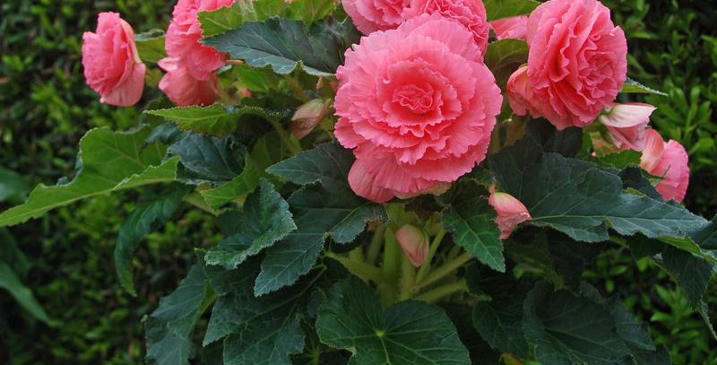 Бегония Amerihybrid ruffled rose