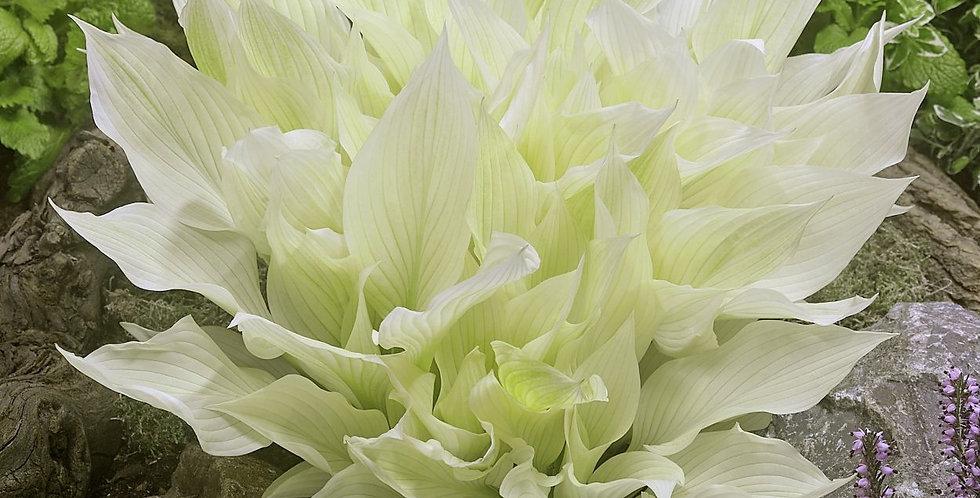 Хоста White Feather (Белое перо)