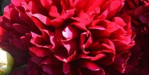 Пион травянистый Дабл Ред (Double Red)