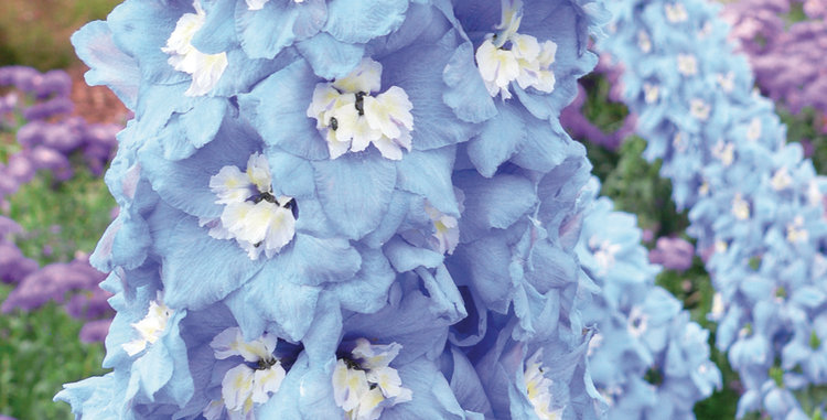 Дельфиниум (тихоокеанский) Sky Blue White Bee