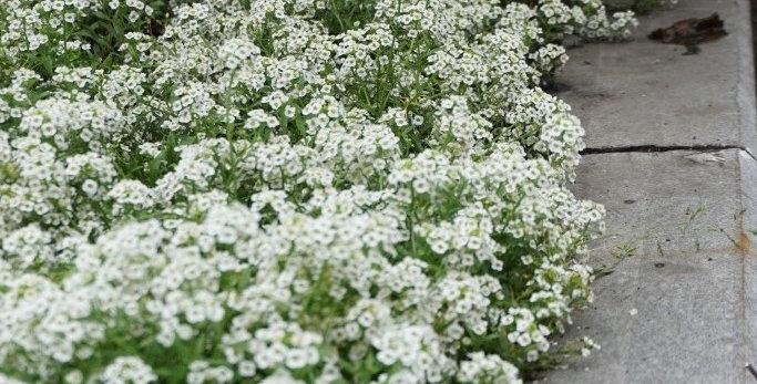 Алиссум White (гибридный) (цена за ОПТ)