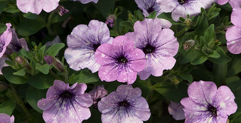 Петуния  вегетативная Lavender Sky