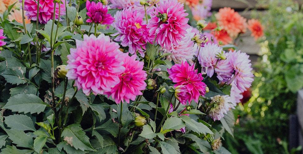 Георгина вегетативная Dahlia Rose