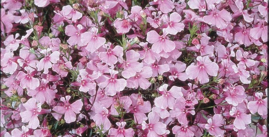 Лобелия ампельная Regatta Lilac (цена за опт)