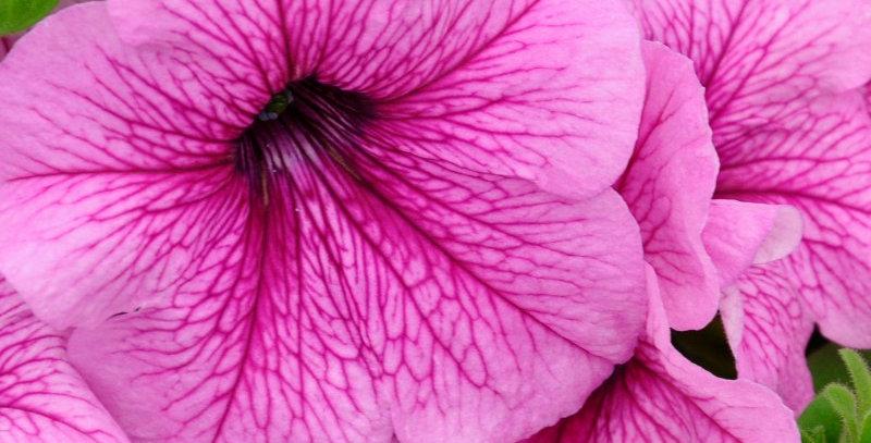Петуния крупноцветковая Игл Плам Вейн (мин.заказ 10шт)