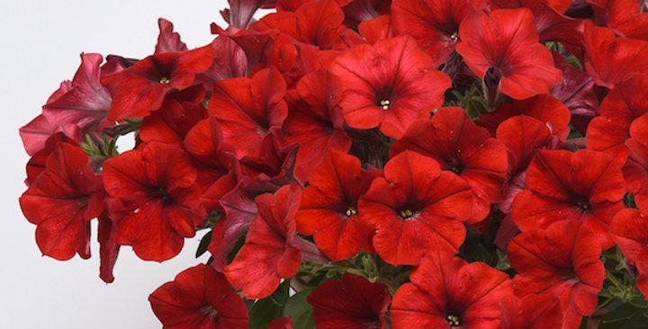 Петуния крупноцветковая Supercascade red (мин.заказ 1 ящика (70шт), ОКС)
