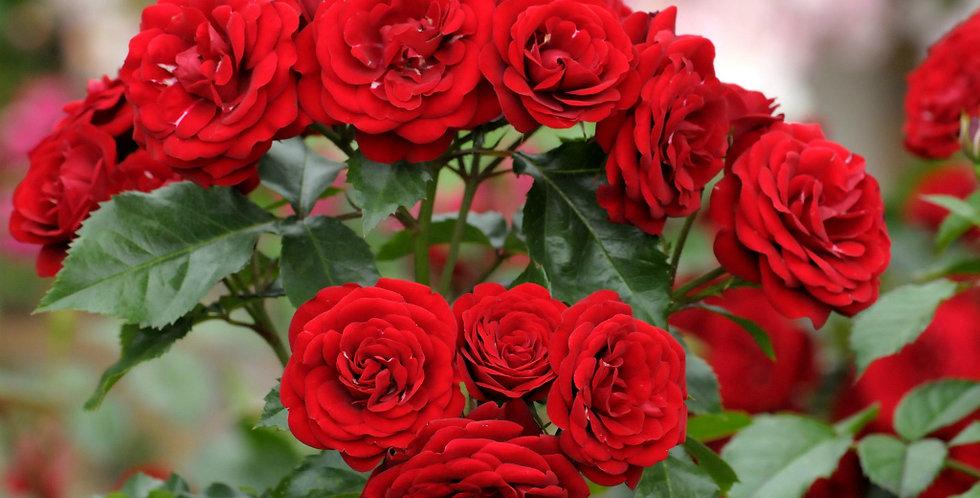 Роза флорибунда Лаваглут (Lavaglut)