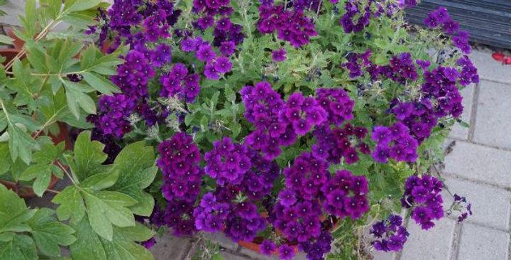 Вербена гибридная Sun Violet