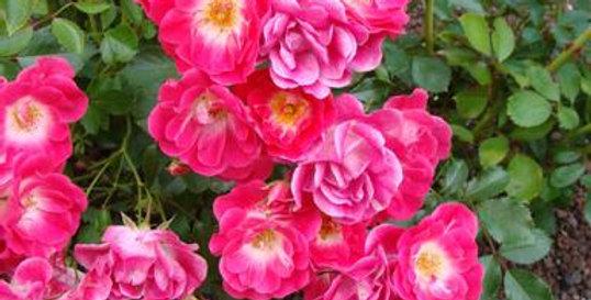 Роза почвопокровная Фуксия Мейландекор
