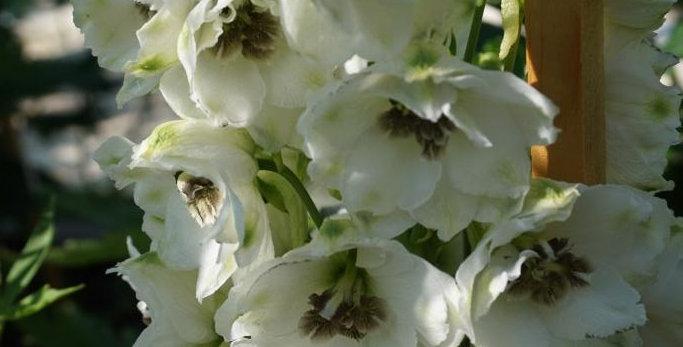 Дельфиниум (тихоокеанский) White With Dark Bee