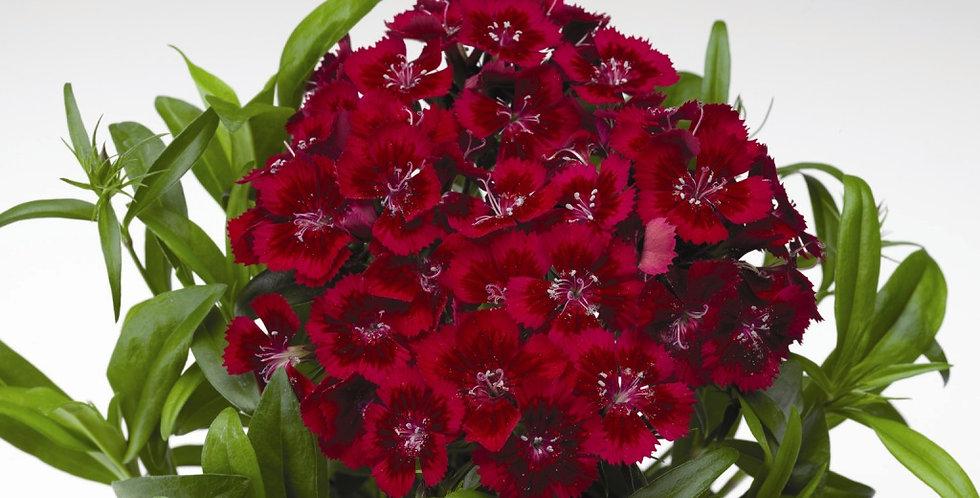 Гвоздика турецкая Diabunda red