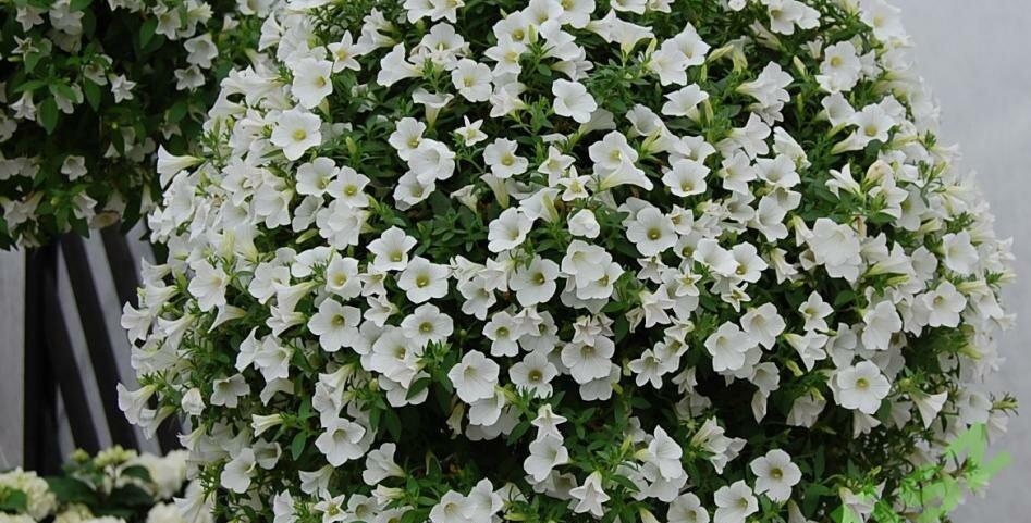 Петуния Surfinia table white