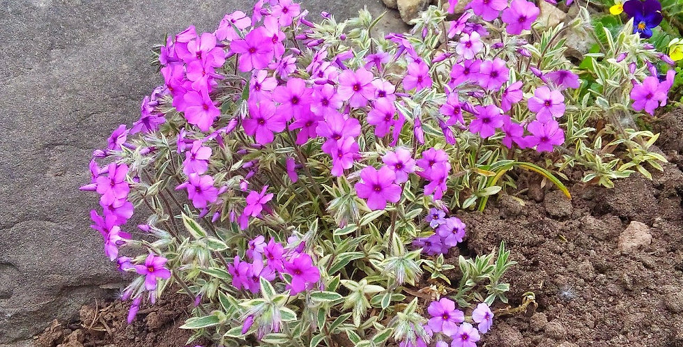 Флокс прелестный Variegata  (почвопокровный)