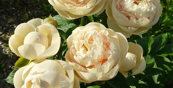 Пион Пастель Элеганс 'Pastel Elegance'