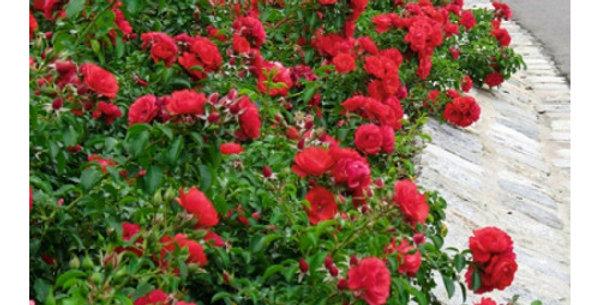 Роза почвопокровная Скарлет Мейандекор