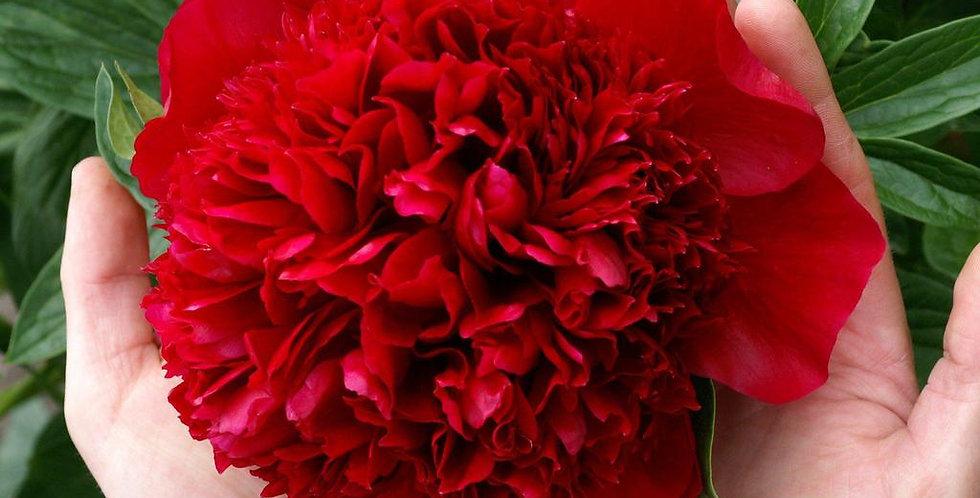 Пион Ред Чарм (Red Charm)