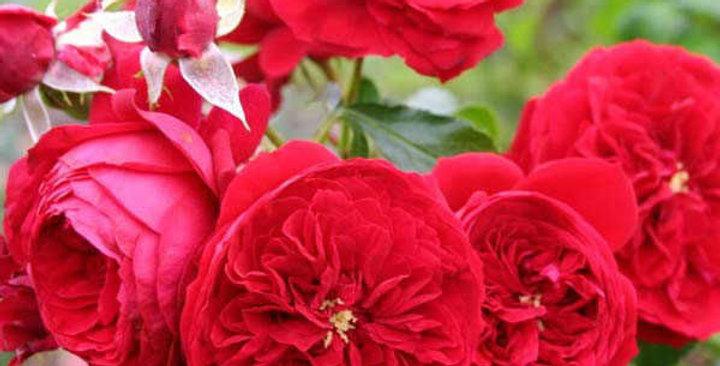 Роза флорибунда Маранелло